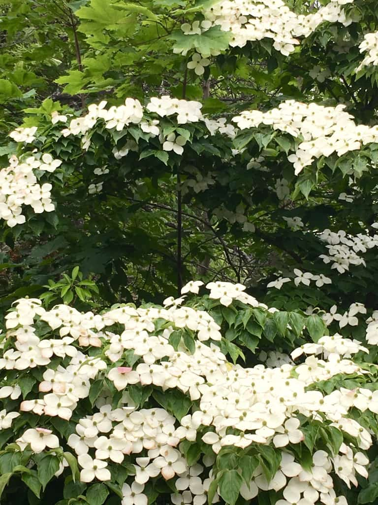 Garden Dogwood tree at Mohonk Mountain House New York by Very Veganish